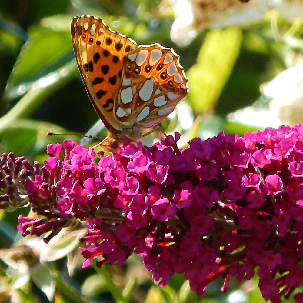 Kleiner Perlmutterfalter auf Schmetterlingsflieder