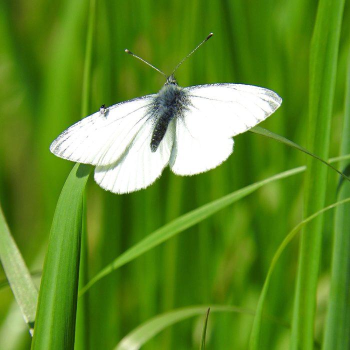 Weißling im Gras