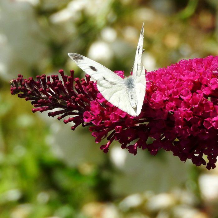 Kleiner Kohlweißling auf Schmetterlingsflieder