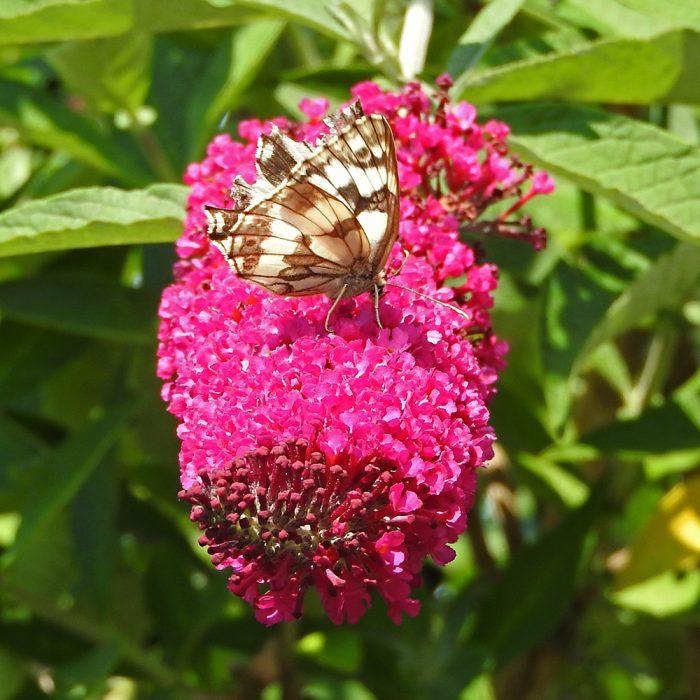 Schachbrett auf Schmetterlingsflieder