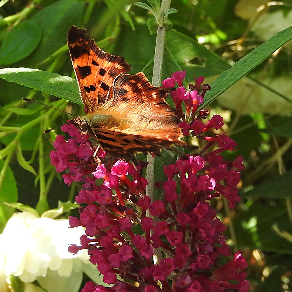 C-Falter auf Schmetterlingsflieder
