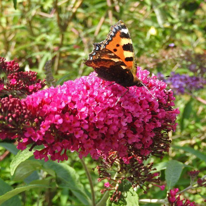 Kleiner Fuchs auf Schmetterlingsflieder