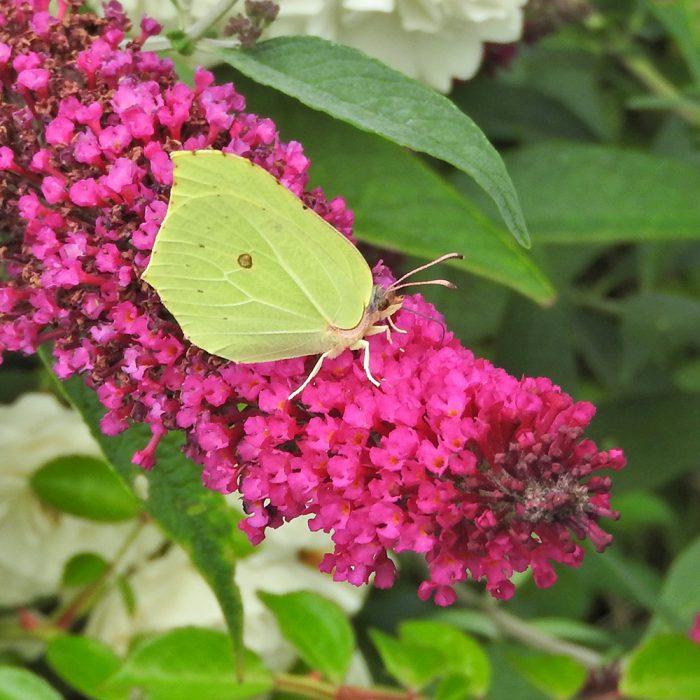 Zitronenfalter auf Schmetterlingsflieder