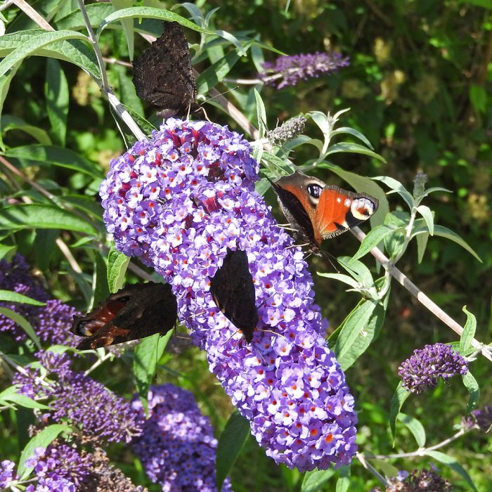 Tagpflauenauge auf Schmetterlingsflieder