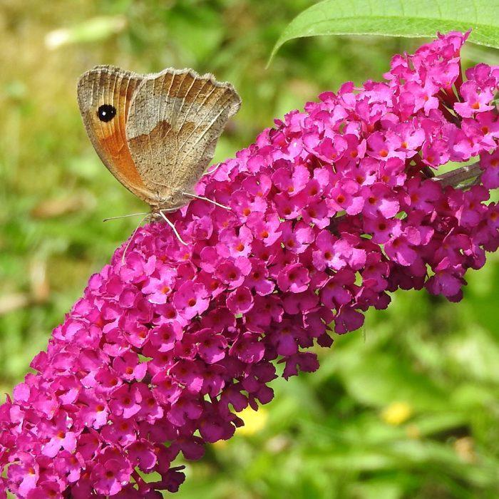Großes Ochsenauge auf Schmetterlingsflieder