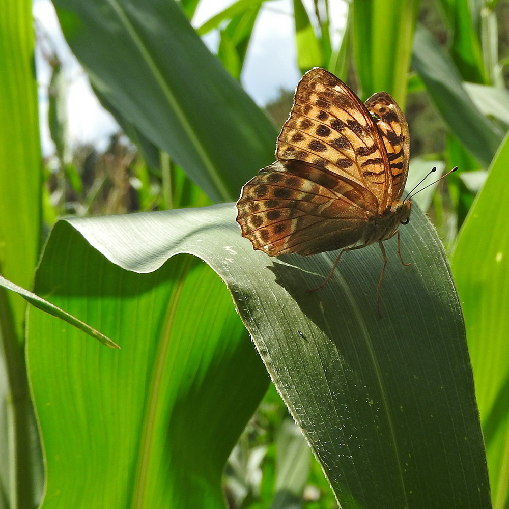 Kaisermantel auf Maisblatt