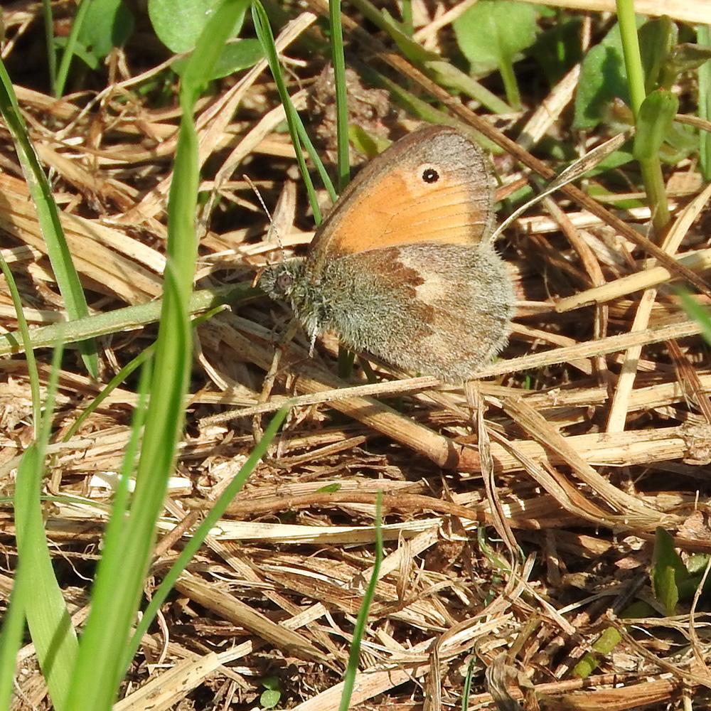 Kleines Wiesenvögelchen auf Waldboden
