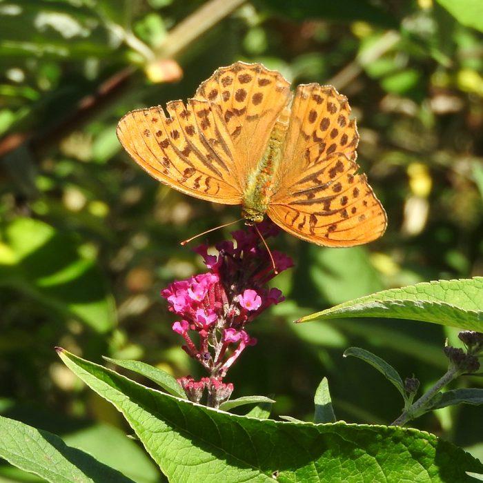 Kaisermantel auf Schmetterlingsflieder