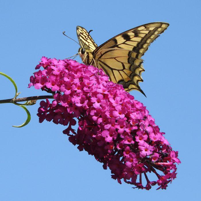 Schwalbenschwanz auf Schmetterlingsflieder