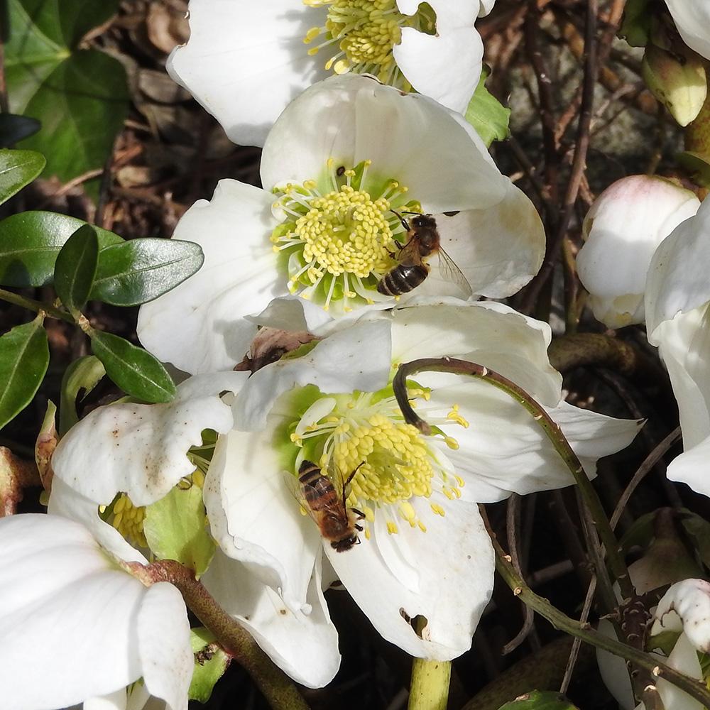 Bienen auf Christrose