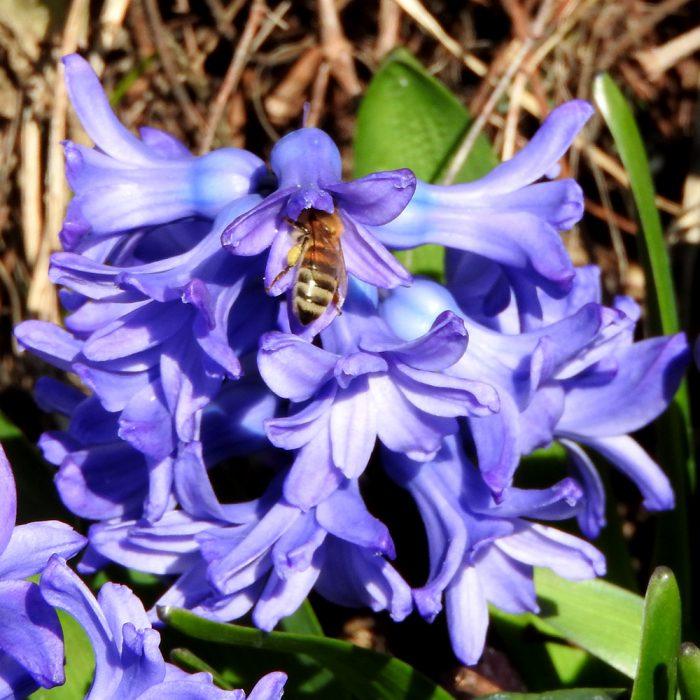 Biene auf Hyazinthe
