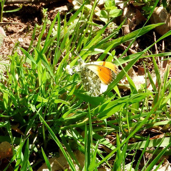Aurorafalter im Gras