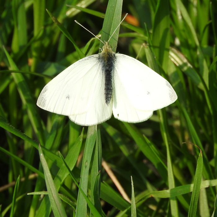 Weißling auf Gras