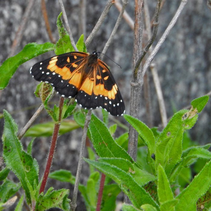 Bordered Patch auf trockenem Ast (Gillespie Co., Texas)