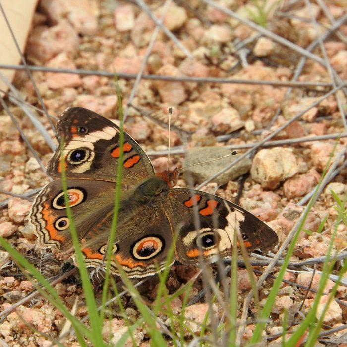 Common Buckeye am Boden (Burnet Co., Texas)