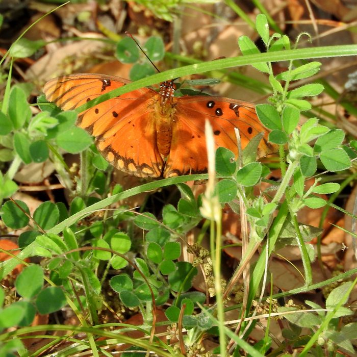 Gulf Fritillary auf Klee (Schleicher Co., Texas)