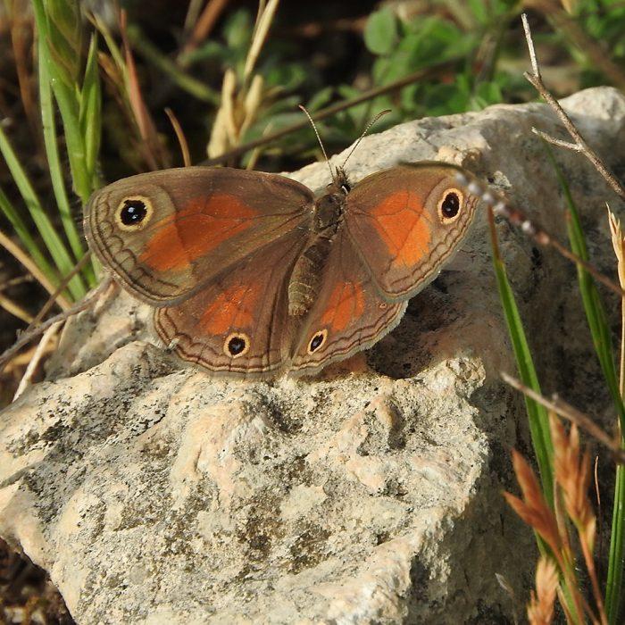 Unbekannter Schmetterling auf Stein (Schleicher Co., Texas)
