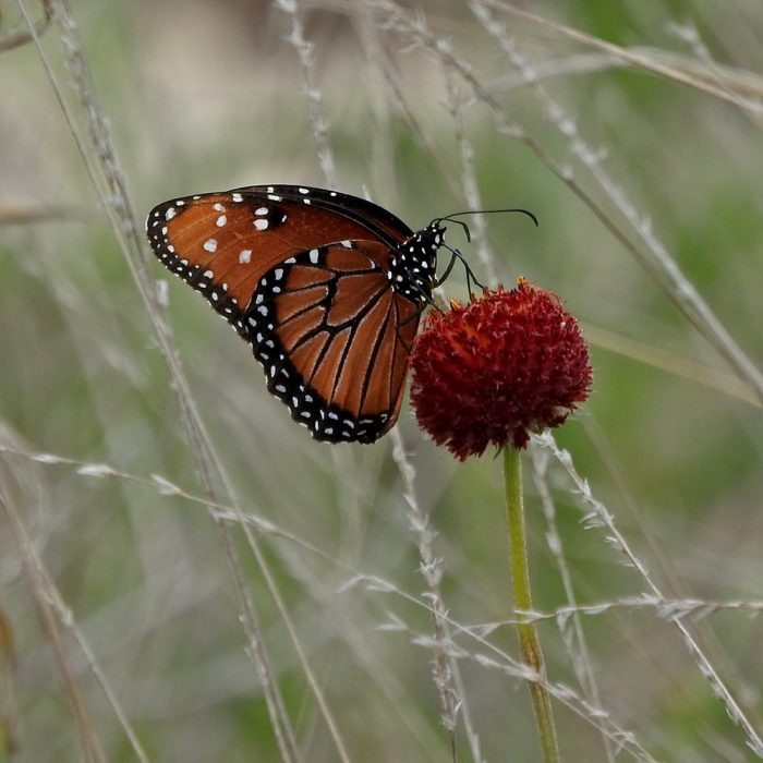 Monarch Butterfly auf Wildblume (Kimble Co., Texas)