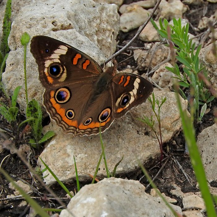 Common Buckeye auf Stein (Kimble Co., Texas)