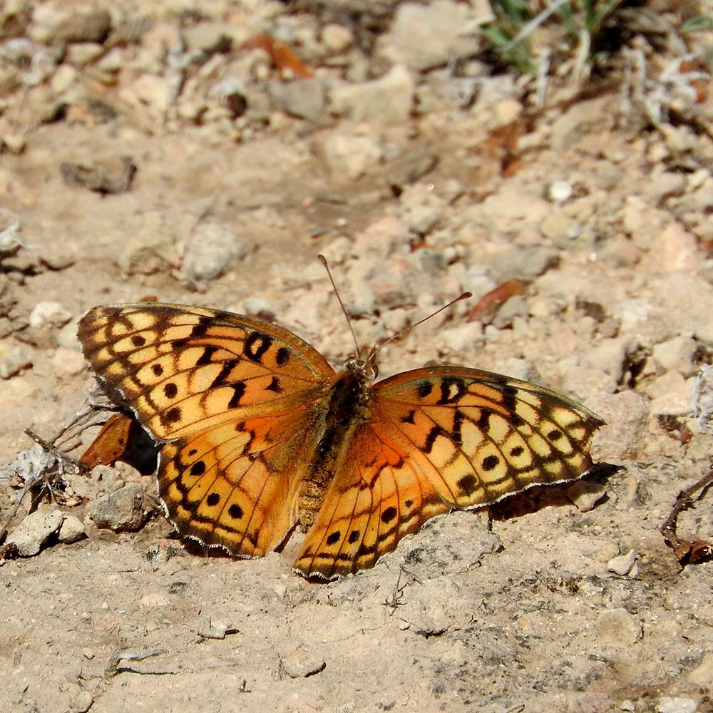 Variegated Fritillary im Gelände (Pecos Co., Texas)