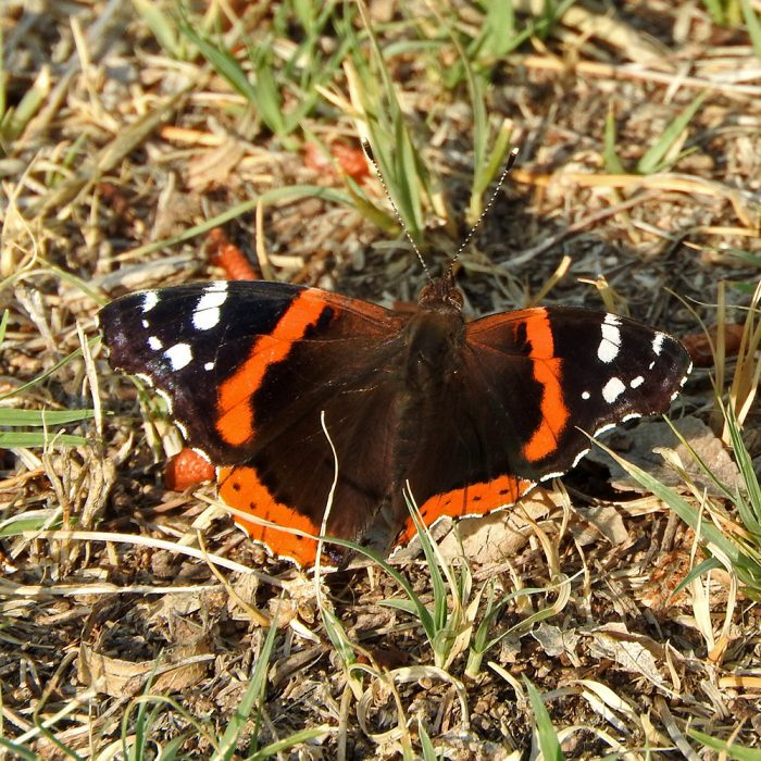 Red Admiral am Boden (Pecos Co., Texas)