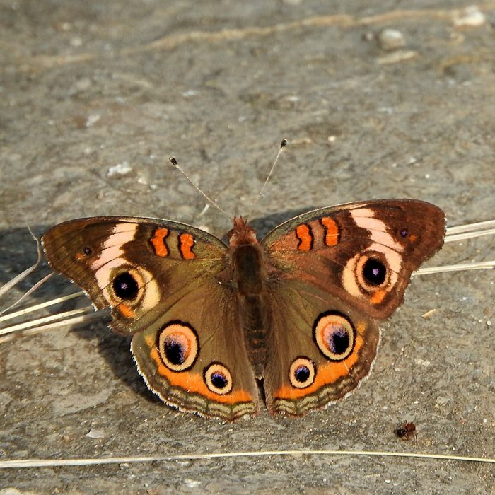 Common Buckeye am Boden (Jack Co., Texas)