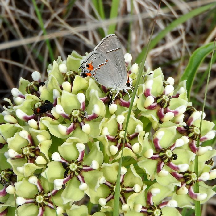 Gray Hairstreak auf Asclepiadaceae (Jack Co., Texas)