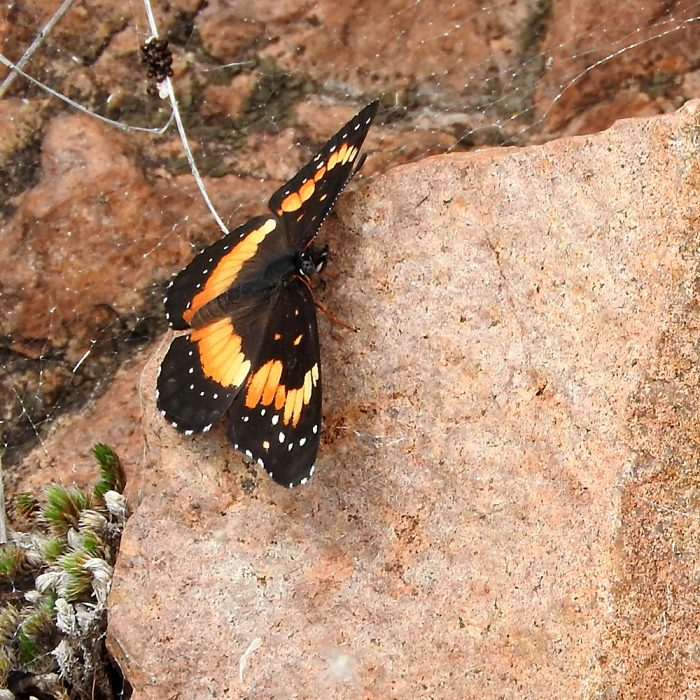 Bordered Patch im Gelände (Comanche Co., Oklahoma)