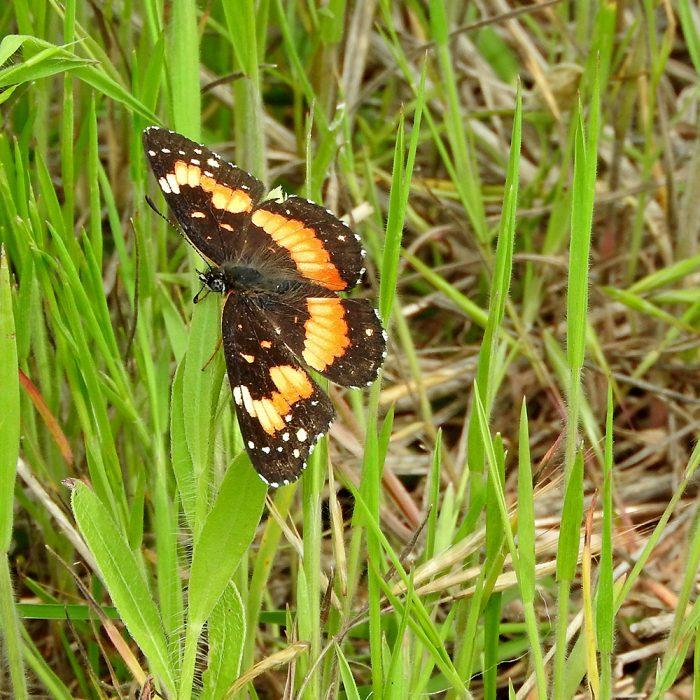 Bordered Patch im Gras (Comanche Co., Oklahoma)