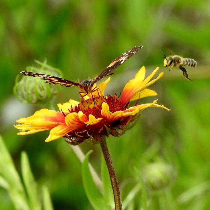 Bordered Patch mit Biene auf Kokardenblume (Comanche Co., Oklahoma)