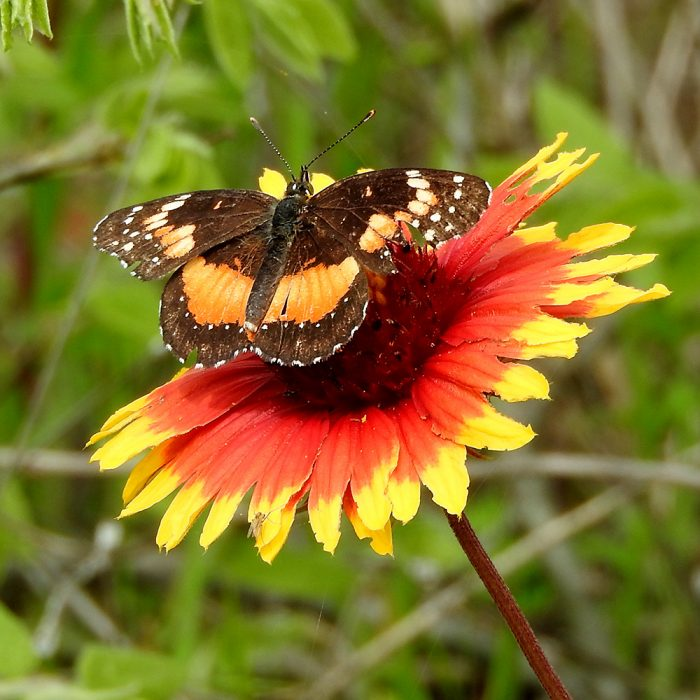 Bordered Patch auf Kokardenblume (Comanche Co., Oklahoma)