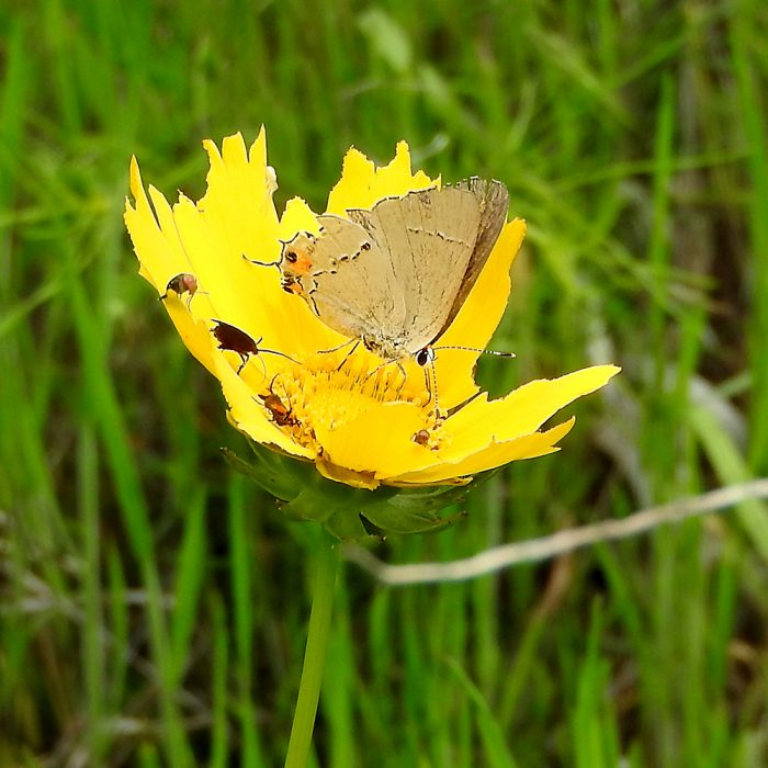 Gray Hairstreak auf Cowpen Daisy (Comanche Co., Oklahoma)