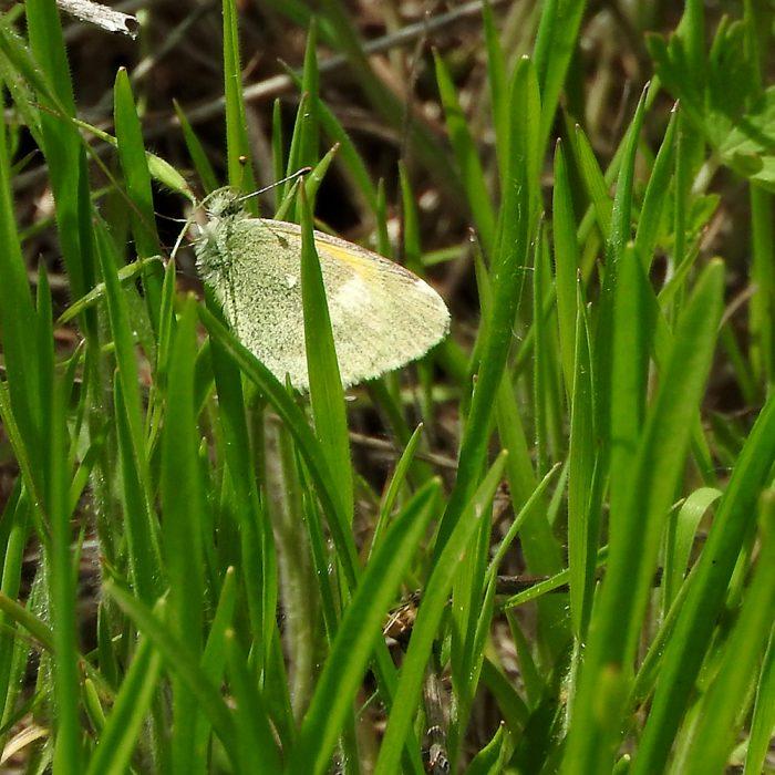 Dainty Sulphur im Gras (Comanche Co., Oklahoma)