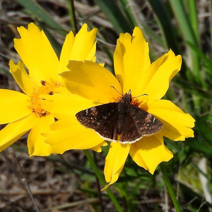 Funereal Duskywing auf Cowpen Daisy (Murray Co., Oklahoma)