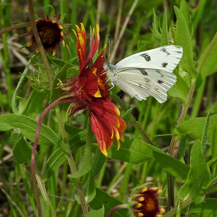 Checkered White Butterfly auf Kokardenblume (Jack Co., Texas)