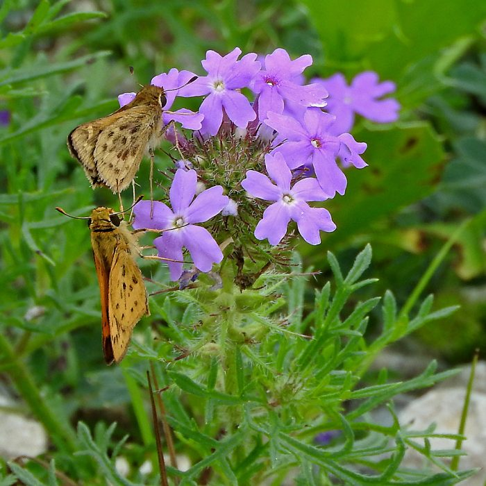 Fiery Skipper auf Prairie Verbena (Jack Co., Texas)