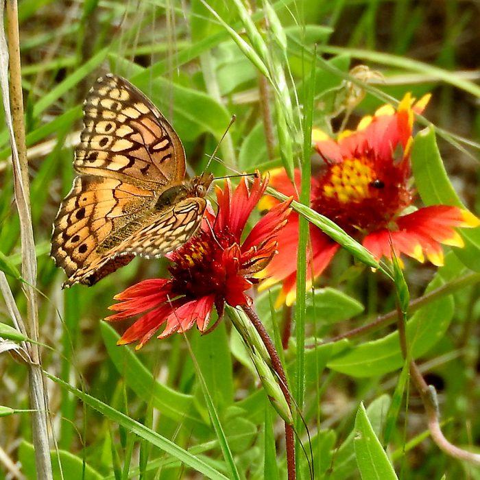 Variegated Fritillary auf Kokardenblume (Jack Co., Texas)