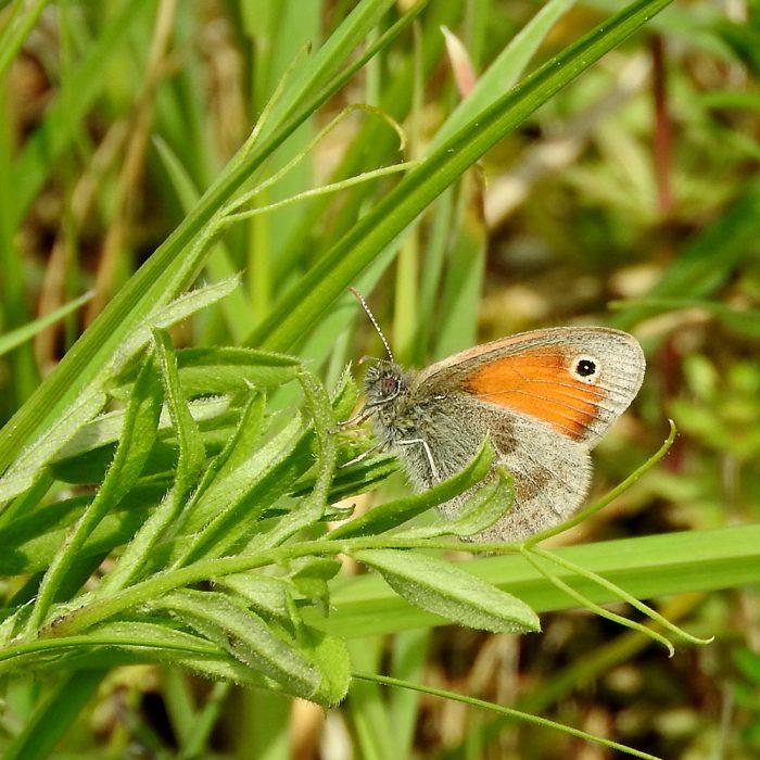 Kleines Wiesenvögelchen auf Wildwiese