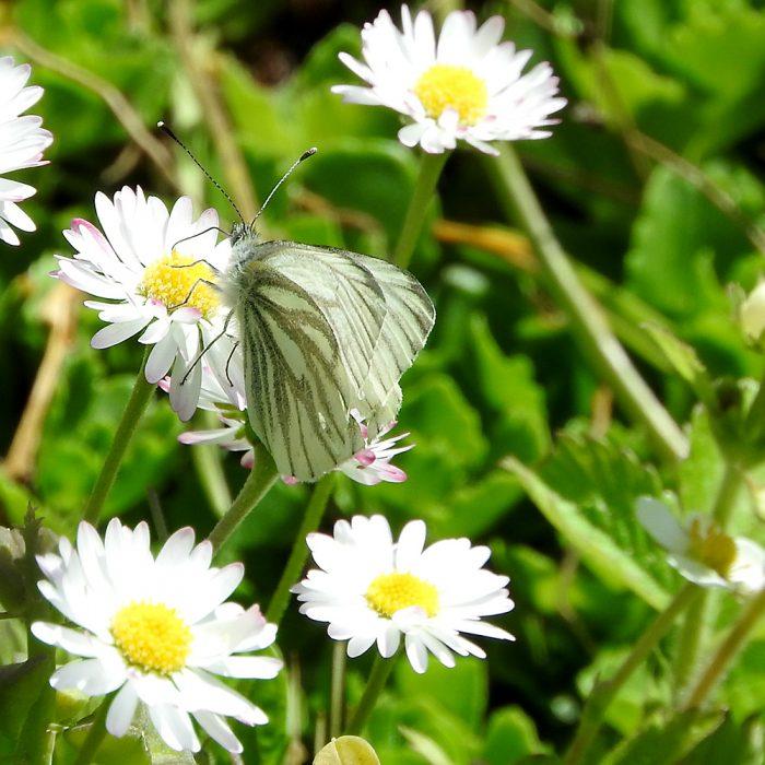 Grünader-Weißling auf Gänseblümchen