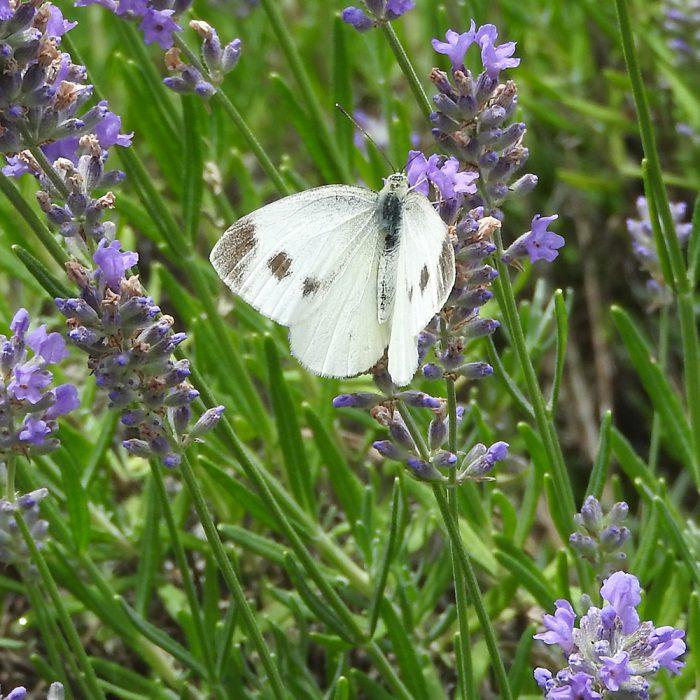 Karstweißling auf Lavendel