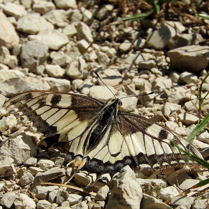 Schwalbenschwanz am Boden