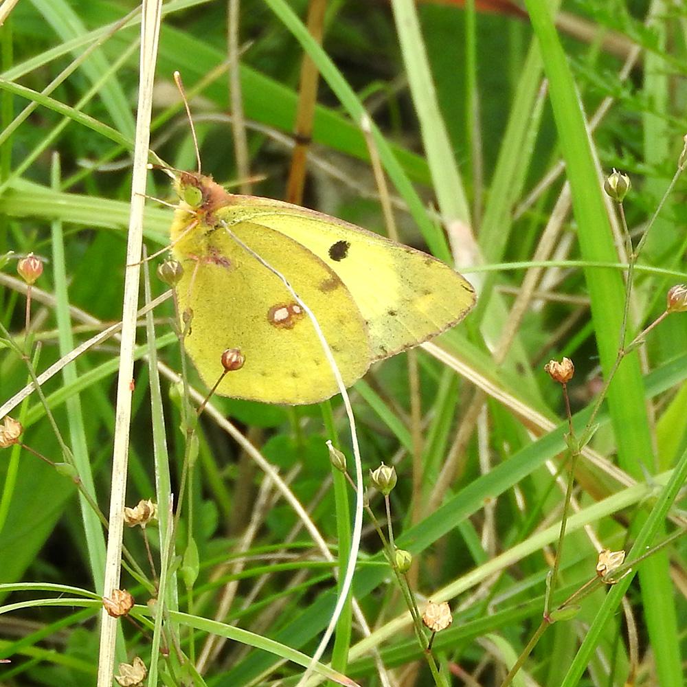 Hufeisenklee-Gelbling auf Gras