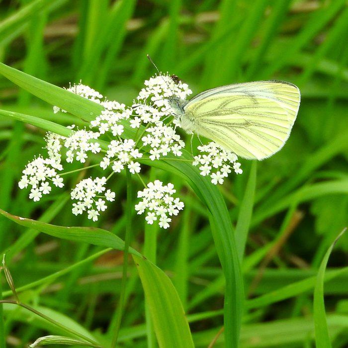Grünader-Weißling auf wilder Möhre