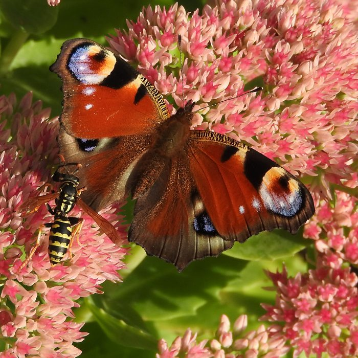 Tagpfauenauge und Wespe auf Fetthenne