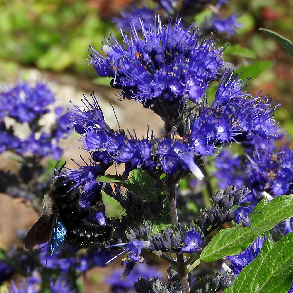 Blaue Holzbiene auf Bartblume