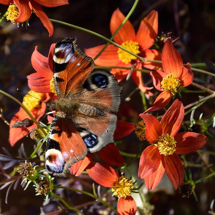 Tagpfauenauge auf Zweizahnblume