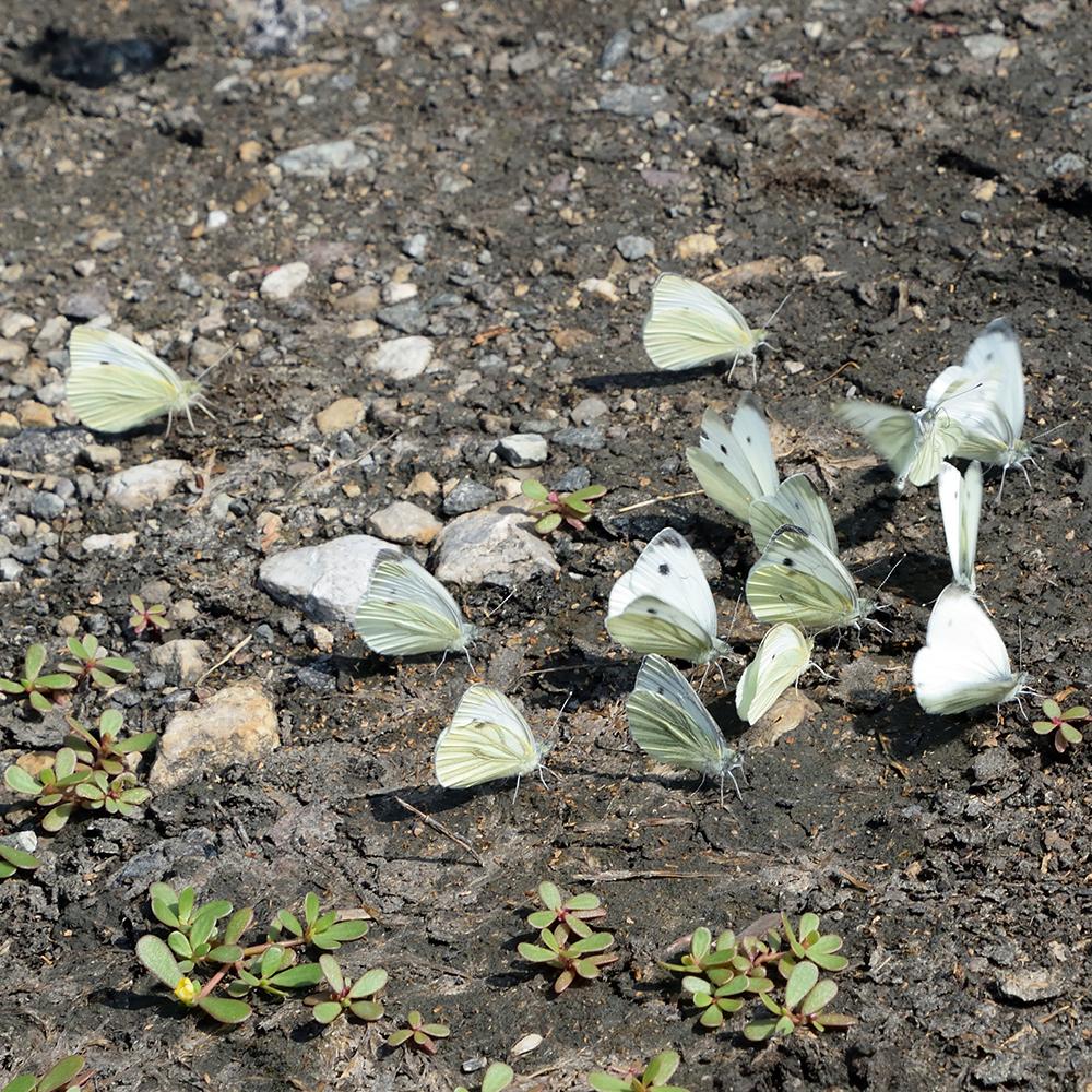 Kleiner Kohlweißling und Grünader-Weißling am Boden