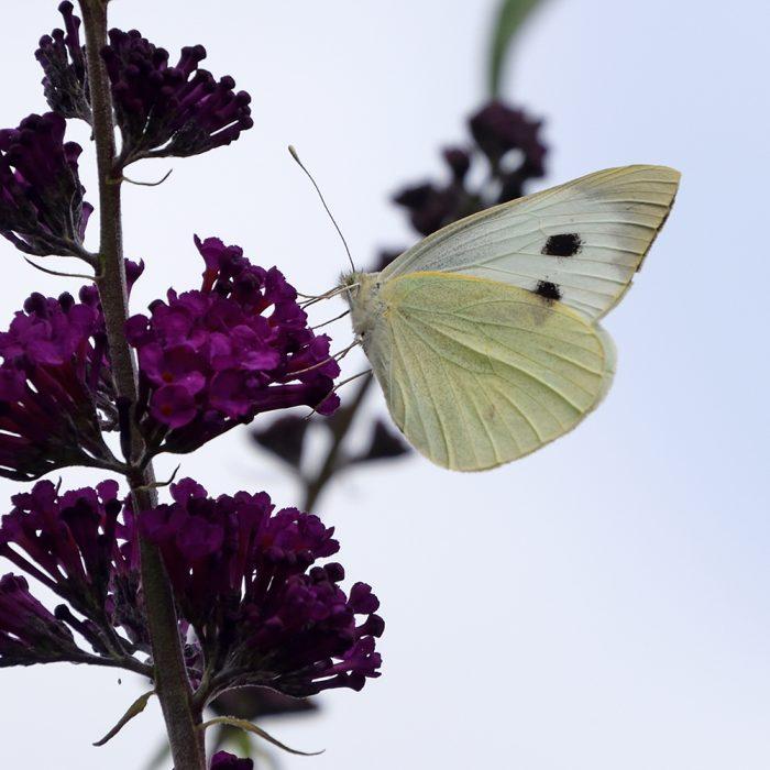 Großer Kohlweißling auf Schmetterlingsflieder