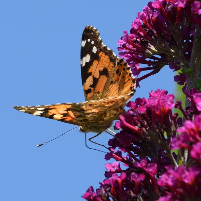 Distelfalter auf Schmetterlingsflieder