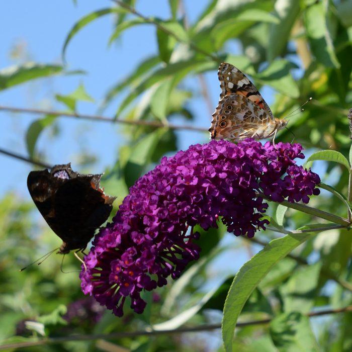 Distelfalter und Tagpfauenauge auf Schmetterlingsflieder